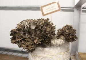 Maitake mushroom, my favorite!