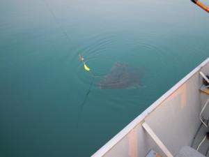 How big is that halibut?