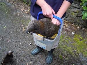 Kaka bird in a bucket