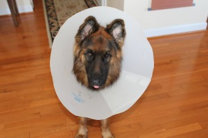 Wearing the cone of shame