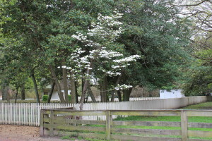 Blooming dogwood Colonial Williamsburg