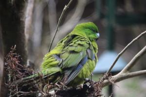 Pretty parakeet